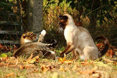 como juntar dos gatos que no se conocen