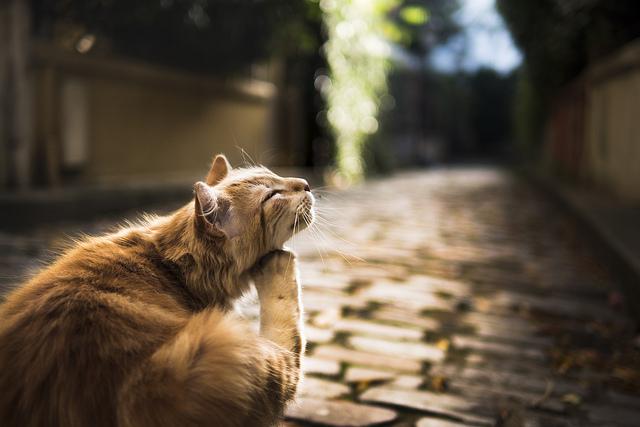 gato ácaros