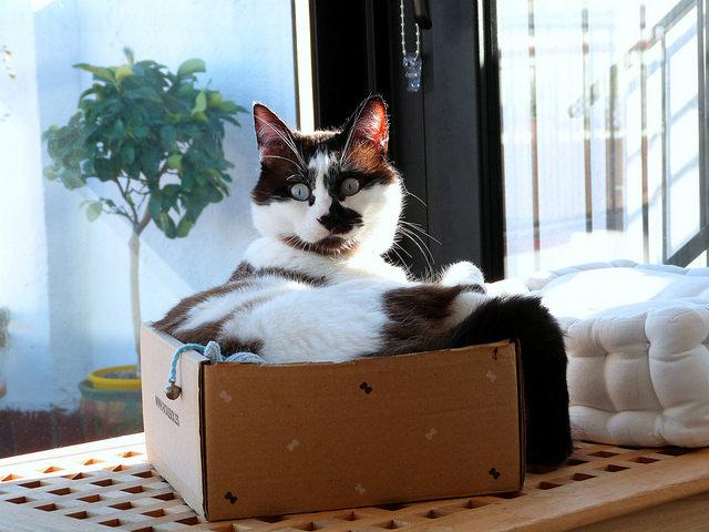 gato le gusta caja de cartón