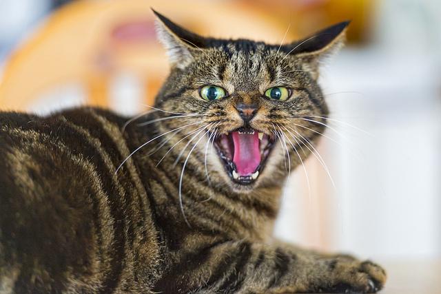 gato violento