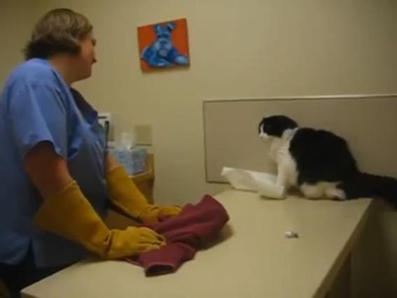 gato agresivo con el veterinario
