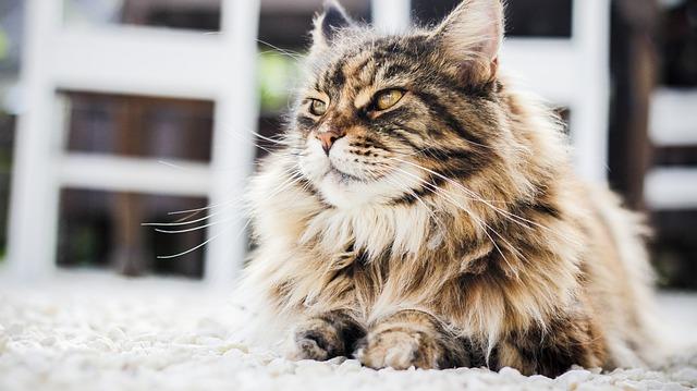 gato persa soñando