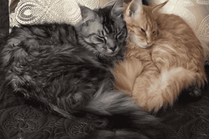gatos durmiendo juntos