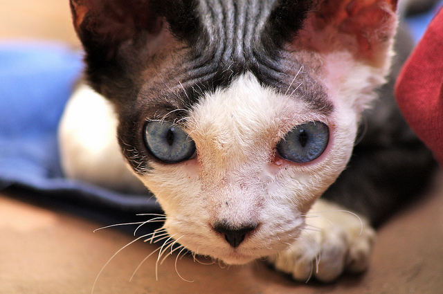gato hipoalergénico Devon Rex