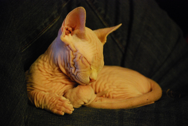 gato hipoalergénico