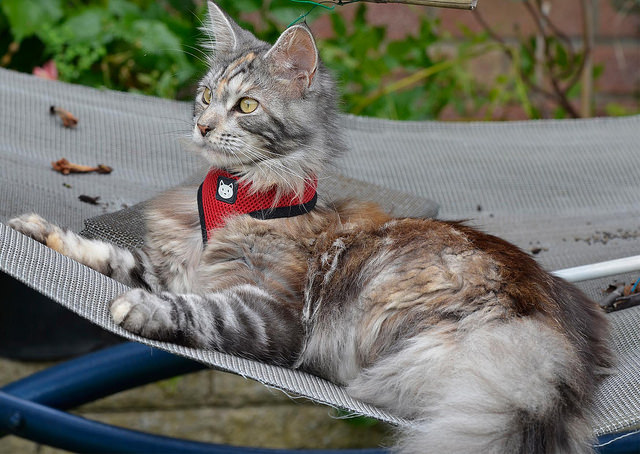 gato con arnes