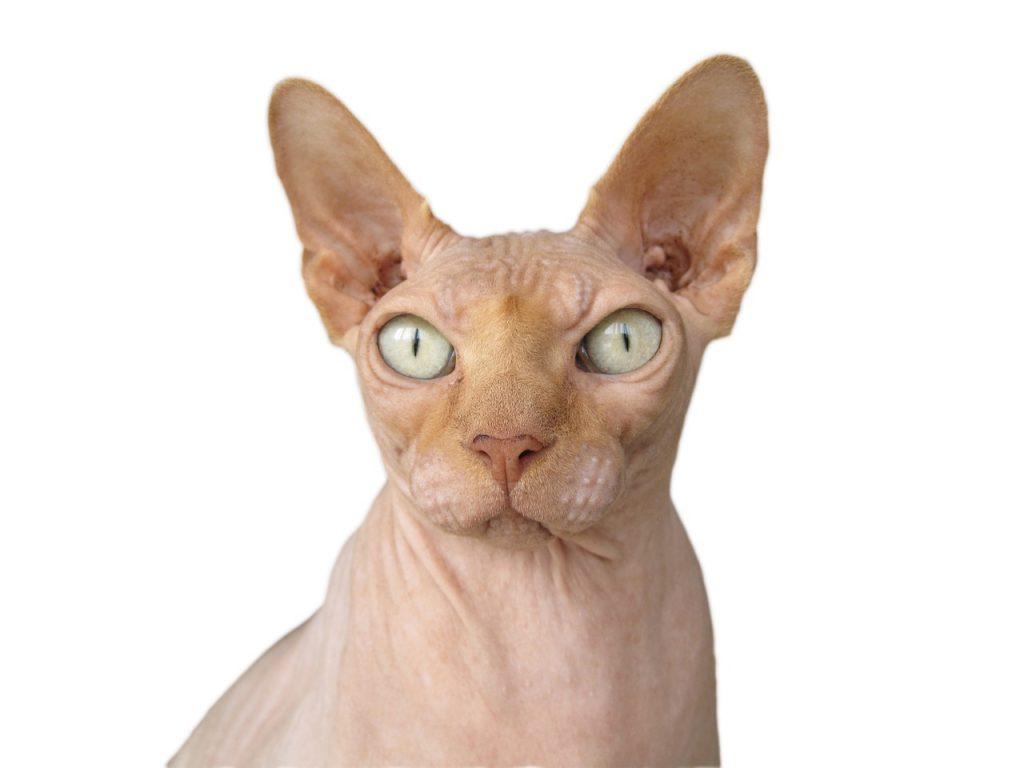 gatos hipoalergenicos para evitar alergias a los gatos