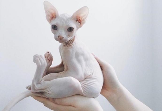 problemas de los gatos sphynx