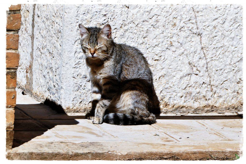 gato cojea por vacuna