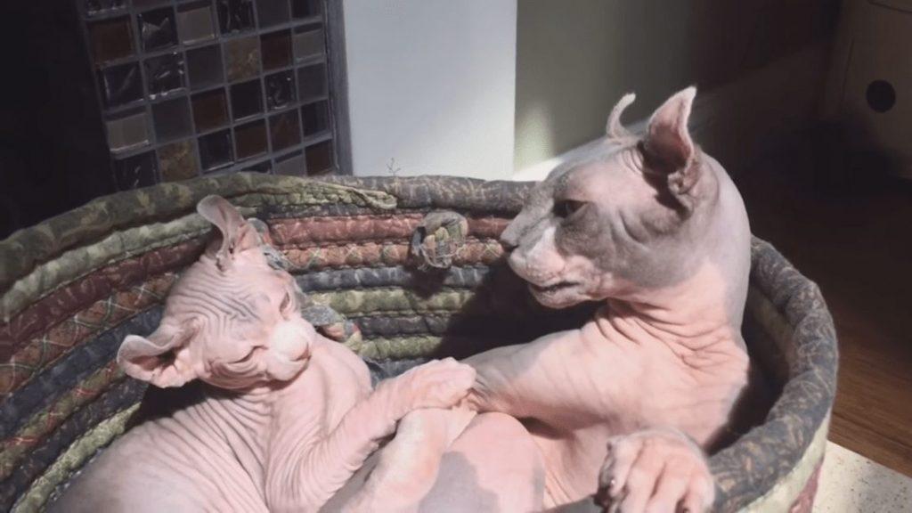 gato sphynx alergia