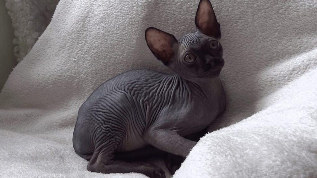 gato esfinge negro