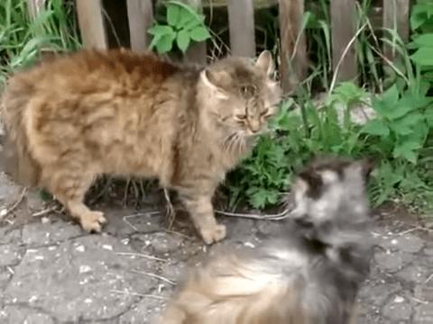 gatos se pegan