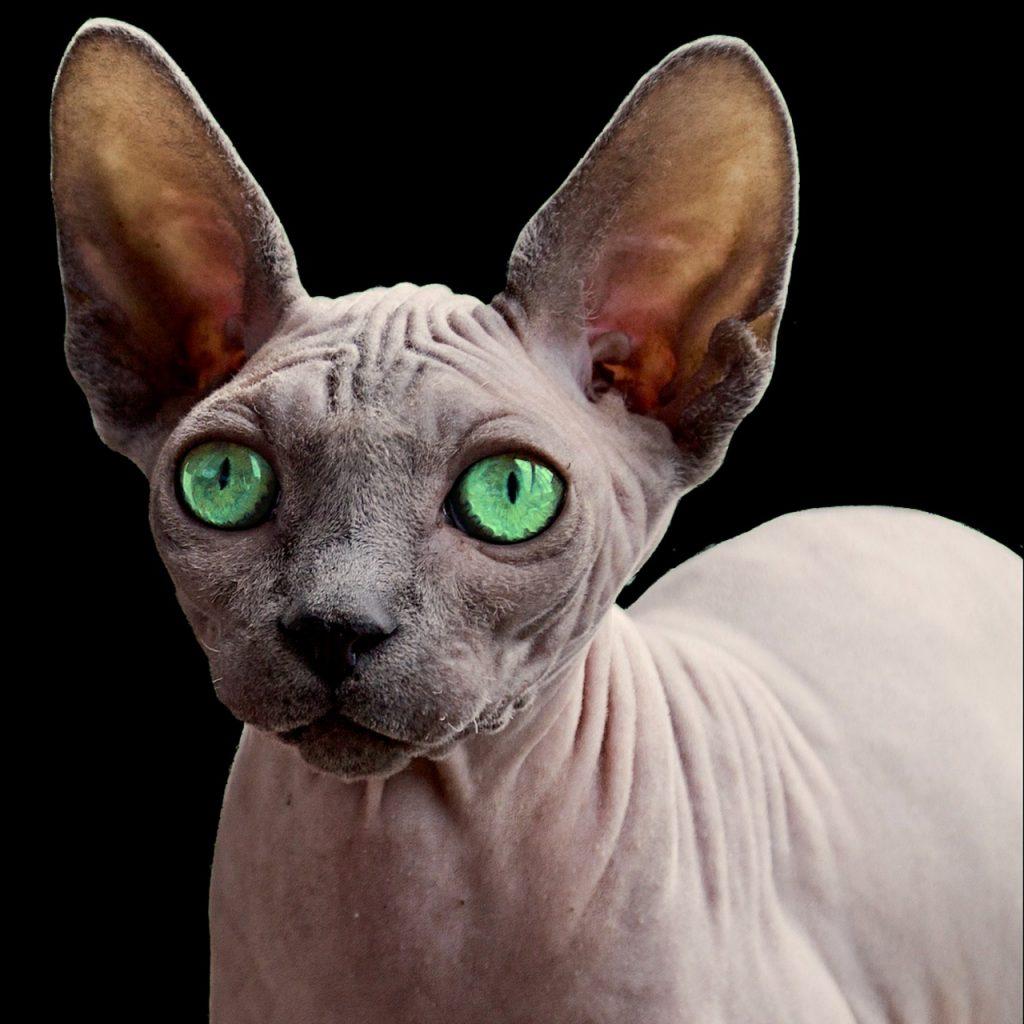 gato sphynx azul