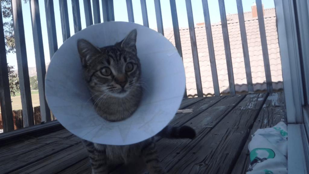 recuperación gato después castración