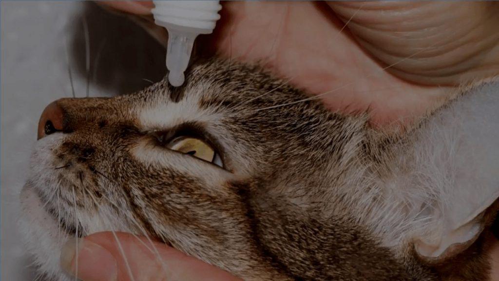 remedios a la infección ojos del gato
