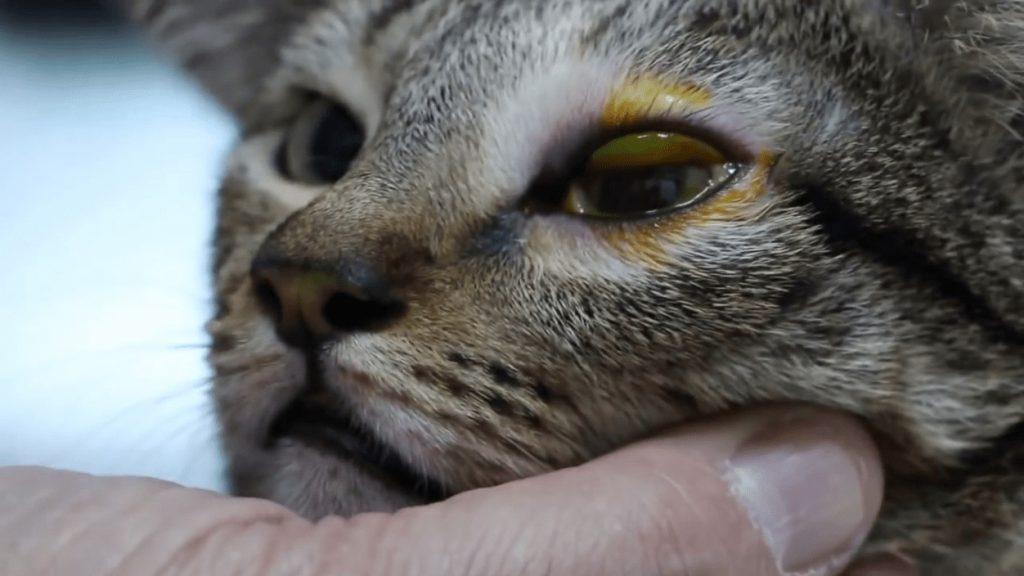 ojo de un gato con infeccion