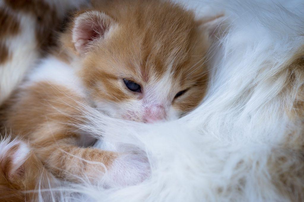 gato con tres semanas