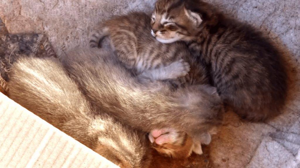 gatitos con dos semanas