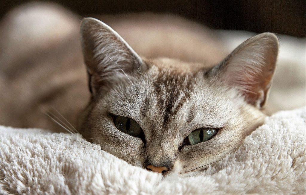 curar la fiebre del gato