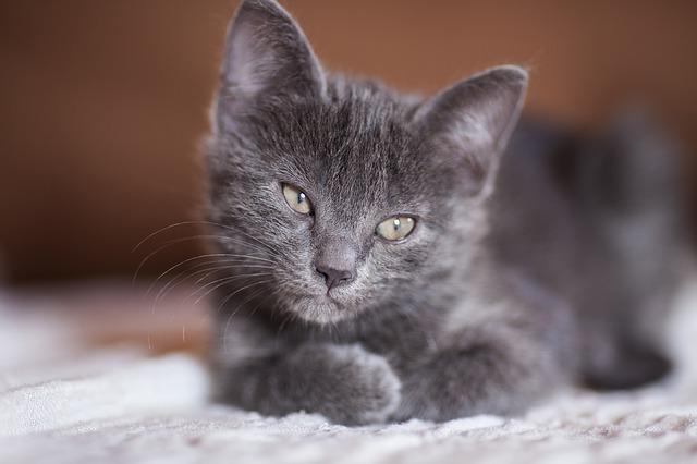 como saber si tiene fiebre un gato
