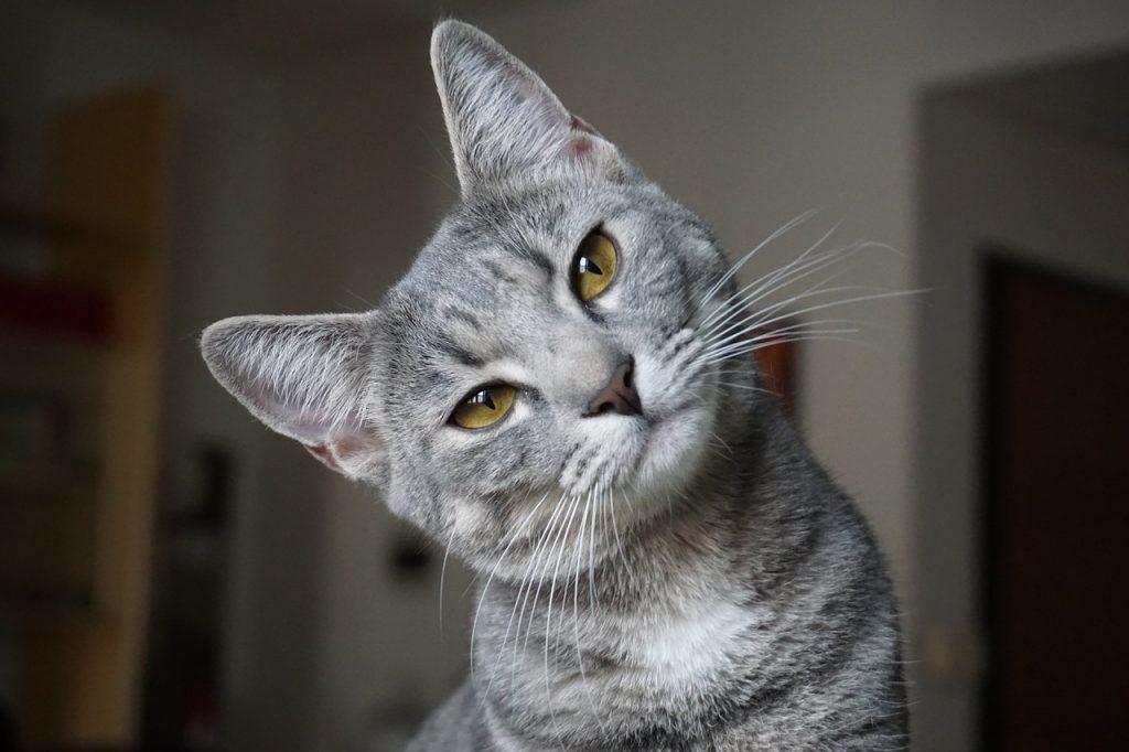 remedios a la artritis en gatos