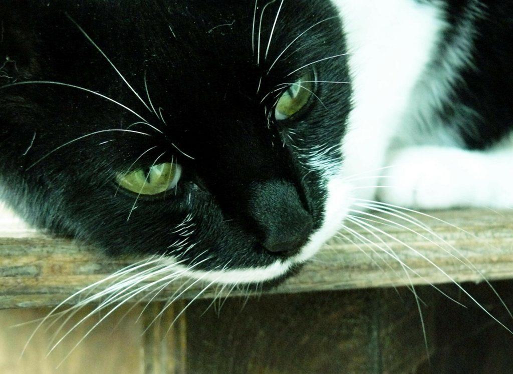 síntomas de diabetes felina veterinaria