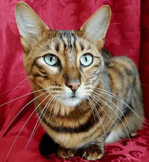gato tigre domestico