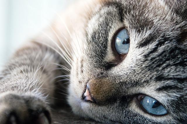 una gata esterilizada entra en celo