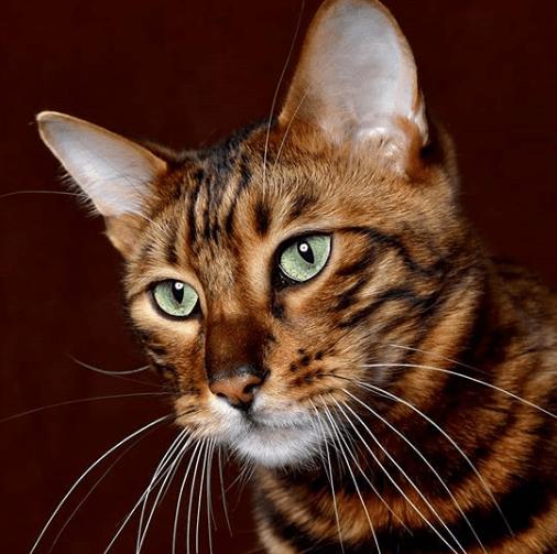 tiger toy gato