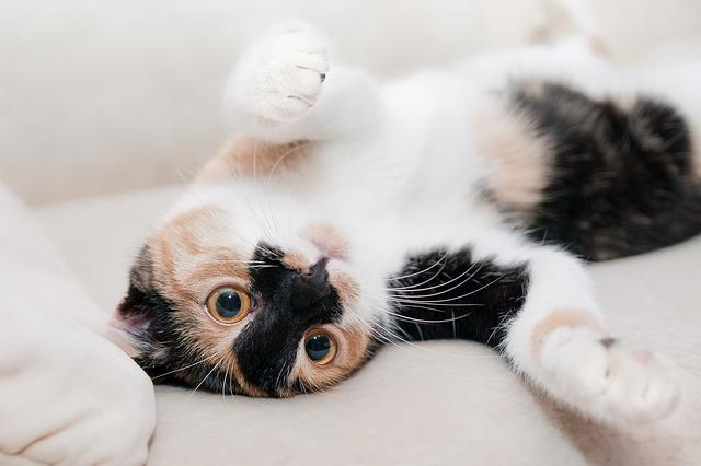 gatos esterilizados celo