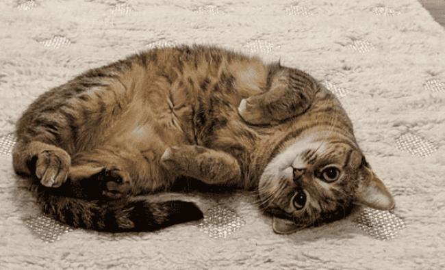 piel barriga gato