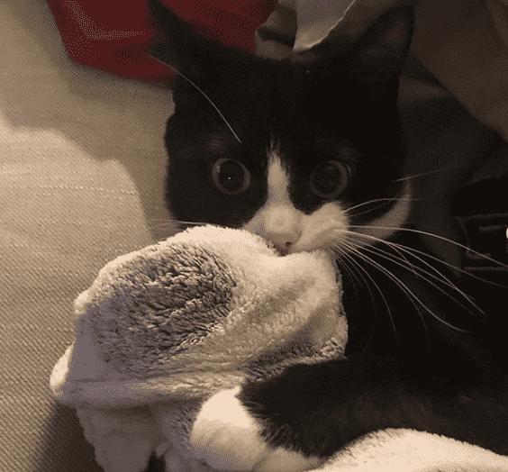 gato chupa una manta