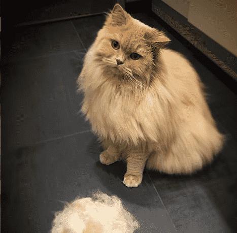 muda del pelo del gato