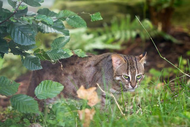 tamaños de gatos pequeños