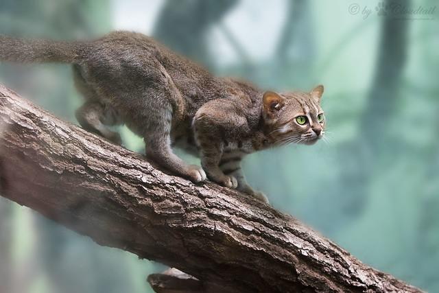 gato salvaje pequeño
