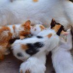 embarazo y gatos domésticos