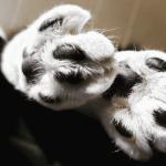 almohadillas de gato secas
