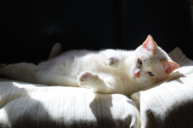 gato de interior