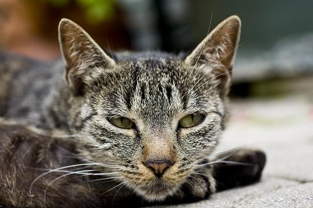 gastritis aguda en gatos