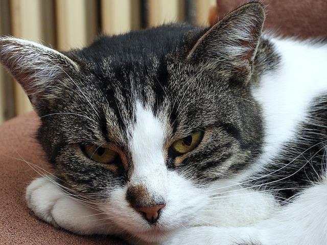 alimentación gatos pancreatitis