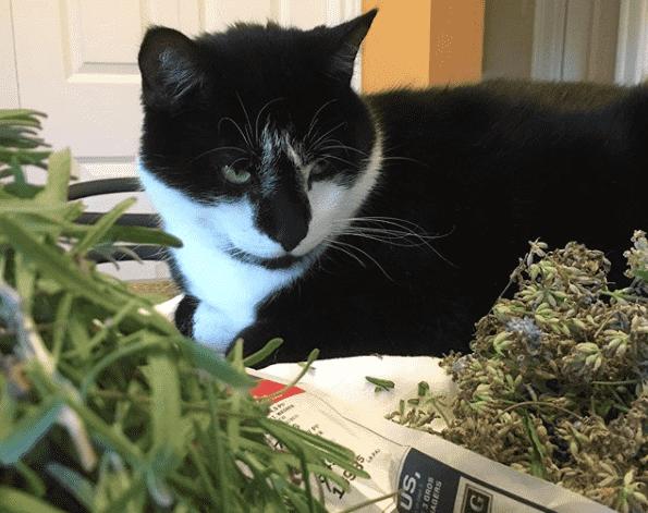 Toxicité de l'huile de lavande chez les chats