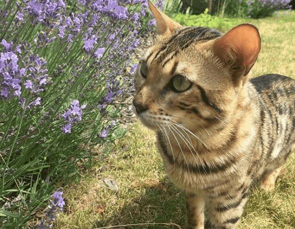 Traitement de toxicité à la lavande chez le chat