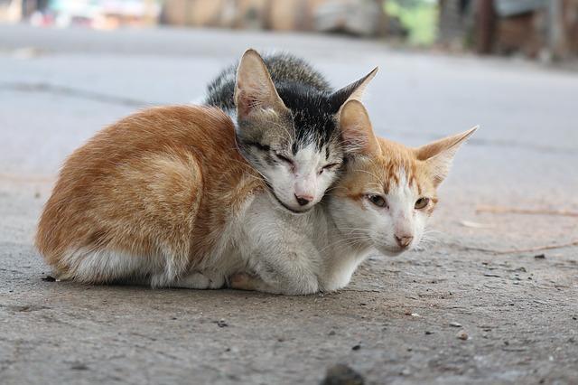 gatos con hipertiroidismo