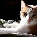 golpe de calor en los gatos