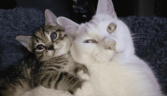 distocia en gatas