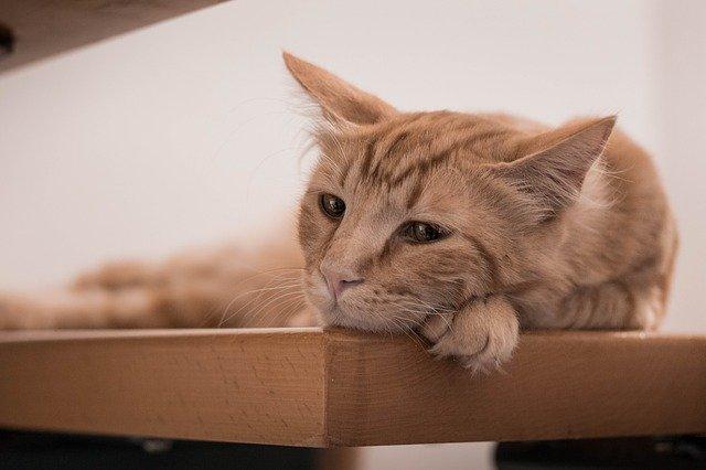 gato con dolor en la cadera