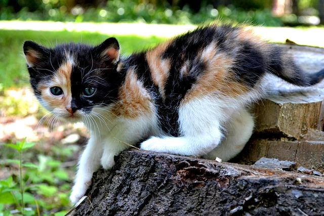 dolor de cadera en gatos