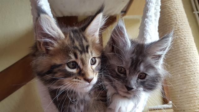 displasia en los gatos Maine Coon
