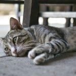enfermedad arañazo gato