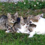 esterilizar gata lactante